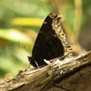 Mourning Cloak Butterfly Art Print