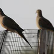 Mourning Doves Calverton New York Art Print