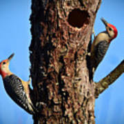 Red Bellied Woodpeckers Art Print