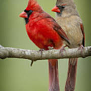 Mr. And Mrs. Northern Cardinal Art Print by Bonnie Barry