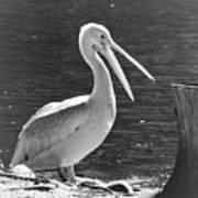 Mr Pelican Art Print