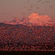 Mt Baker Snow Geese Art Print