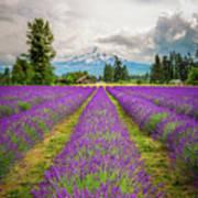 Mt. Hood And Lavender Art Print
