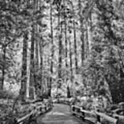 Muir Woods Bw Art Print