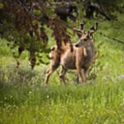 Mule Buck Deer Art Print