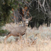 Mule Deer Buck Art Print