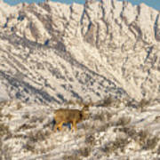 Mule Deer Buck In Winter Sun Art Print