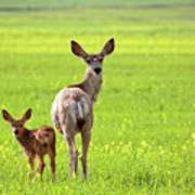 Mule Deer Doe And Fawn Looking Back Over Their Shoulders Art Print
