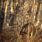 Mule Deer In Aspen Thicket Art Print
