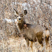 Mule Deer In Winter In The Pike National Forest Art Print