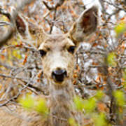 Mule Deer Portrait In The Pike National Forest Art Print