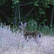 Mule Deer - Sinkyone Wilderness Art Print