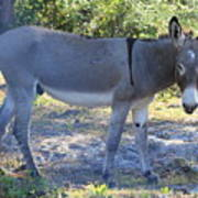 Mule In The Pasture Art Print