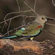 Mulga Parrot Female A Art Print