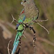 Mulga Parrot Female Art Print