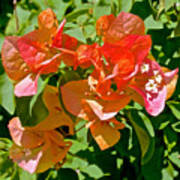 Multi-colored Bougainvillea At Pilgrim Place In Claremont-california  Art Print