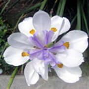 Multi-petal White Iris Flower. Very Unusual, Rare Form Art Print