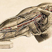 Muscles And Blood Vessels In Arm, 1851 Art Print