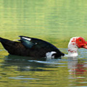 Muscovy Red Art Print