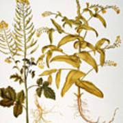 Mustard Plant, 1613 Art Print