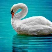 Mute Swan 4 Art Print