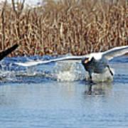 Mute Swan Chasing Canada Goose I Art Print