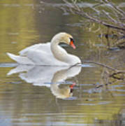 Mute Swan Reflection I Art Print