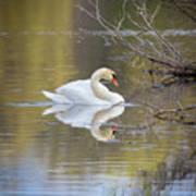 Mute Swan Reflection Art Print