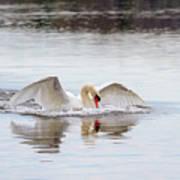 Mute Swan Swim Art Print
