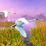 Mute Swans Over Marshes Art Print