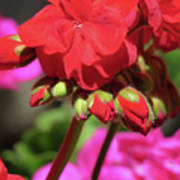 My Beautiful Geraniums And Buds - Images From The Garden Art Print