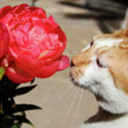 My Kitty In Love With A Peony Art Print