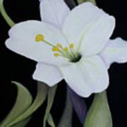 My White Lily Art Print
