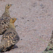 Namaqua Sandgrouse Art Print