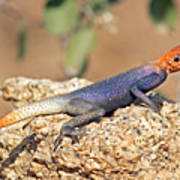 Namib Rock Agama, Male Art Print