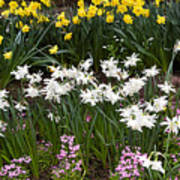 Narcissus And Daffodils In A Spring Flowerbed Art Print