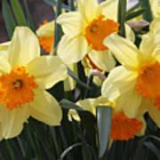 Narcissus Fortissimo Art Print