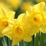 Narcissus Meadows Art Print