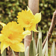 Narcissus Of A Plant Art Print