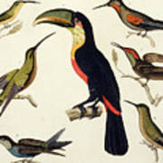 Native Birds, Including The Toucan From The Amazon, Brazil Art Print