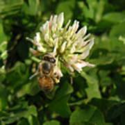 Nature In The Wild - Clover Honey Art Print