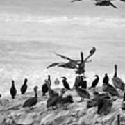 Nature Pelicans Rock  Art Print