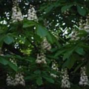 nature Ukraine blooming chestnuts Art Print