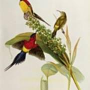 Nectarinia Gouldae Art Print by John Gould