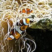 Nemo And Marlin Art Print