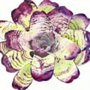 Neoregelia 'freeman's Vision' Art Print by Penrith Goff