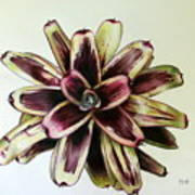 Neoregelia Painted Delight Art Print by Penrith Goff
