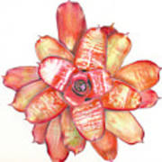 Neoregelia Small Wonder Art Print by Penrith Goff