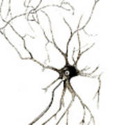 Nerve Cell From Spinal Cord, Deiters Art Print