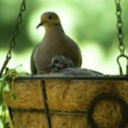 Nesting Doves, Hanging Basket, Balcony Garden, Hunter Hill, May  Art Print